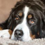 Berneński pies pasterski - charakterystyka po niemiecku